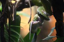 Snake Eating White Mouse
