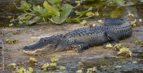 Fotografia alligator smiles for you from the banks of the wetlands