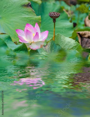 Deurstickers Waterlelies fleur rose de lotus