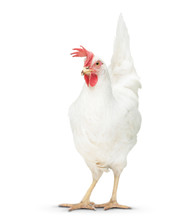 Chicken Looking Close To The F...