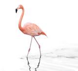 one adult pink flamingo walking on water - 195582776