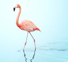 One Adult Pink Flamingo Walking On Water