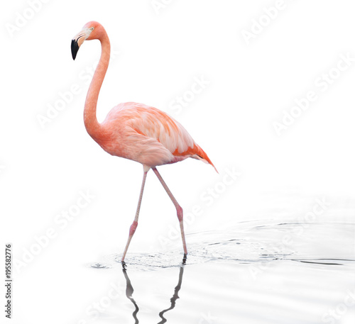 one adult pink flamingo walking on water