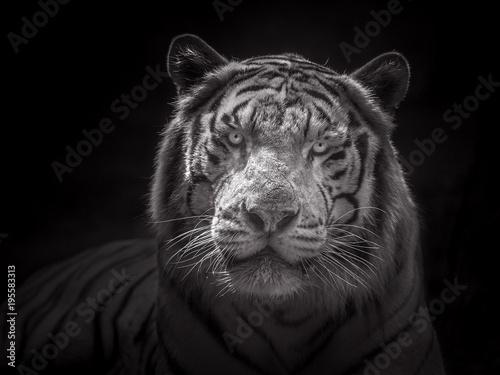 Foto op Plexiglas Leeuw Face of Siberian white tiger.