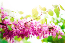 Blooming Judas Tree. Cercis Siliquastrum, Canadensis, Eastern Redbud. Blossom Pink Flowers Branch In Sunlights. Spring And Summer Concept, Sunny Day. Copy Space