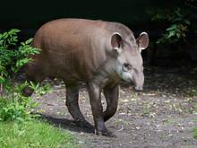 South American Tapir (Tapirus ...