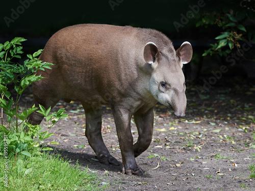 Fotografía South American tapir (Tapirus terrestris)