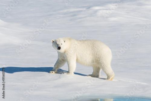 Staande foto Ijsbeer Polar bear on the pack ice