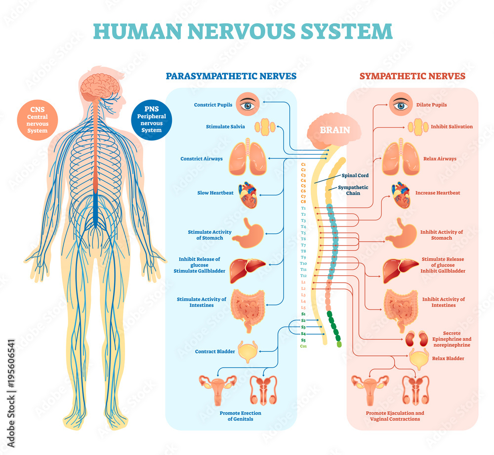 Fototapety, obrazy: Human nervous system medical vector illustration diagram with parasympathetic and sympathetic nerves and all connected inner organs.
