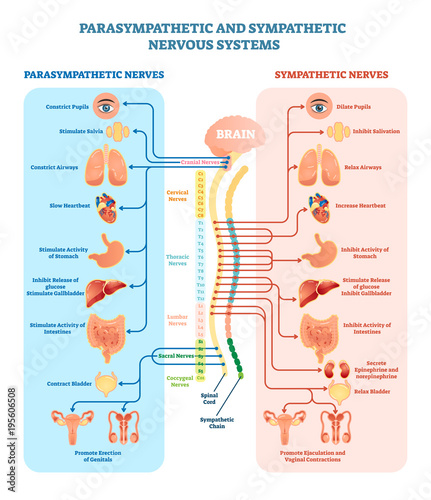 Human nervous system medical vector illustration diagram with parasympathetic and sympathetic nerves and all connected inner organs Obraz na płótnie