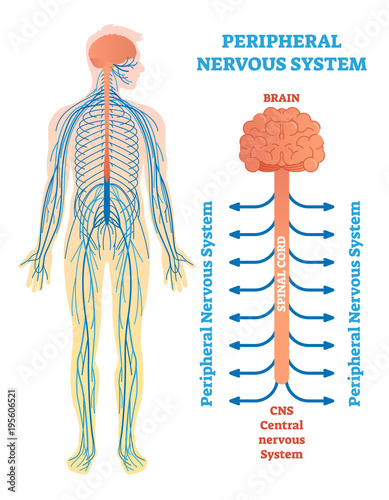 Peripheral nervous system medical vector illustration diagram with peripheral nervous system medical vector illustration diagram with brain spinal cord and nerves ccuart Gallery