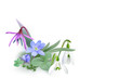Bunch of Forest flowers, messengers of spring - Background. Wildflowers as Snowdrops, Trout lily and Liverwort blooming on the forest floor. Vector illustration, realistic style, white background.