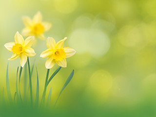 Yellow narcissus flowers spring background