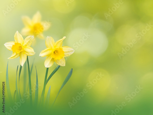Deurstickers Narcis Yellow narcissus flowers spring background