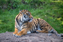 Alert Tiger Laying On A Rock