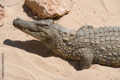 Krokodil nimmt ein Sonnenbad