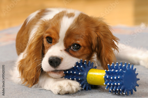 Photographie Cavalier King Charles Spaniel Welpe mit Hundespielzeug