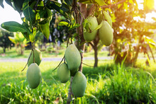 Mangoes On The Tree,Fresh Frui...