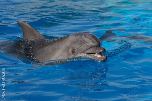 Deurstickers Dolfijn A bottlenose dolphin opens its mouth