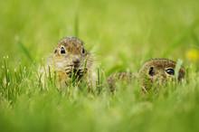 European Ground Squirrel, Sper...