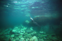 Cormorant Hunts Underwater Photo