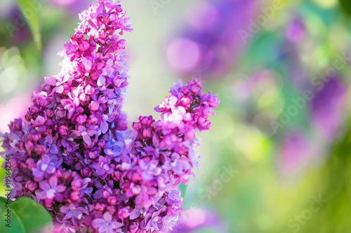 Foto op Canvas Lilac Lilac flowers spring blossom