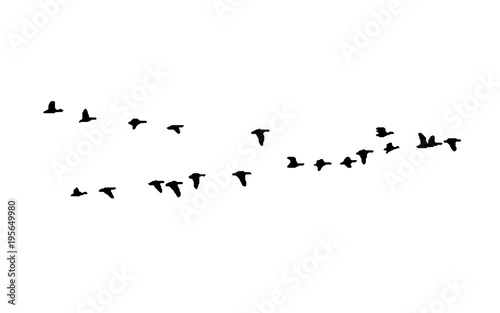 Greater white-fronted goose wedge in flight Wallpaper Mural