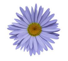 Violet Flower Chamomile On A W...