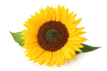 Beautiful Sunflower (Helianthus Annuus, Asteraceae) Isolated On White Background, Inclusive Clipping Path Without Shade.