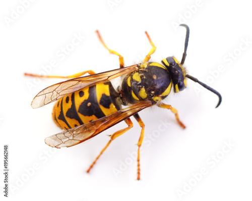 Valokuva Wasp isolated on white.