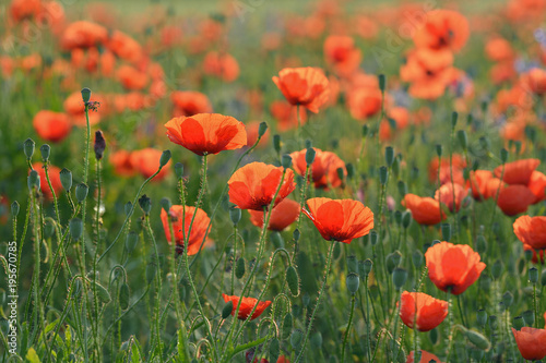 Field with Red Poppies (Papaver rhoeas), Pfungstadt, Hesse, Germany, Europe