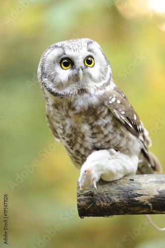 Foto op Canvas Uil Close-up of Boreal Owl (Aegolius funereus) with Prey in Autumn, Bavarian Forest National Park, Bavaria, Germany