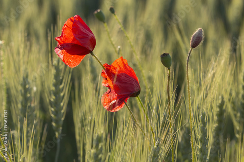 Deurstickers Klaprozen Red poppy in the Black Forest, Germany