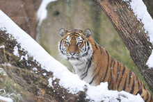 Portrait Of Siberian Tiger (Panthera Tigris Altaica) In Winter, Germany