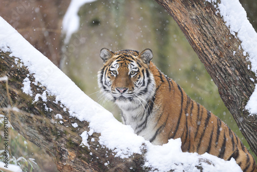 Poster Tijger Portrait of Siberian Tiger (Panthera tigris altaica) in Winter, Germany