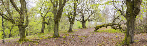 Old European beech trees in Kellerwald-Edersee National Park