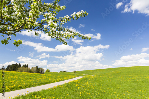 Foto op Aluminium Weide, Moeras Country Road by Cherry Tree and Dandelion Meadow (Taraxacum officinale) in Spring, Bavaria, Germany