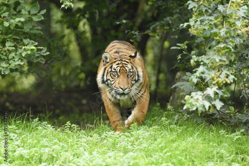 Sumatran tiger walking in meadow in zoo Augsburg, Germany