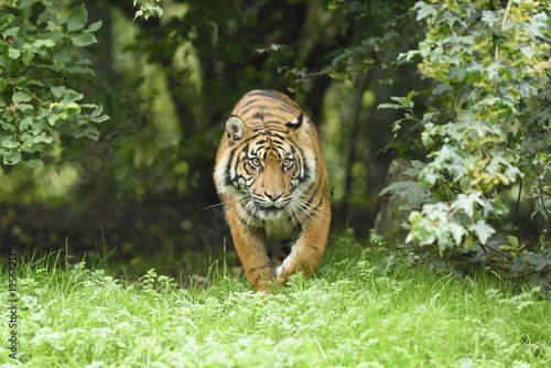 Sumatran tiger walking in meadow in zoo Augsburg, Germany
