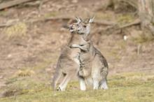 Eastern Grey Kangaroo (Macropus Giganteus) Mother With Joey On Meadow In Spring, Bavaria, Germany