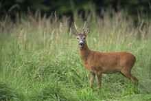 European Roe Deer (Capreolus Capreolus), Germany