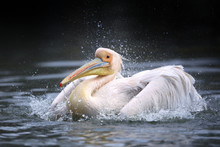 White Pelican Shaking Feathers In Water