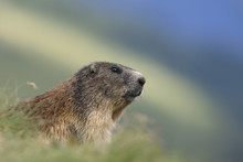 Close-up Portrait Of Alpine Marmot (Marmota Marmota), Hohe Tauern National Park, Austria