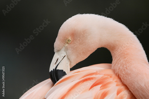Close-up of Chilean Flamingo in zoo, Germany