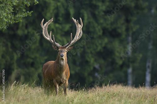 Tuinposter Hert Portrait of Red Deer (Cervus elaphus), Germany