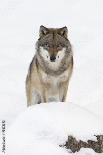 Foto op Canvas Wolf Close-up portrait of Wolf (Canis lupus) in winter, Bavarian Forest National Park, Bavaria, Germany