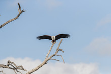 African Fish Eagle Landing On The Branch Of A Tree