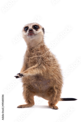 Fotografie, Obraz  The meerkat or suricate cub, 2 month old, on white
