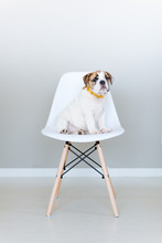 A Bulldog On The Chair