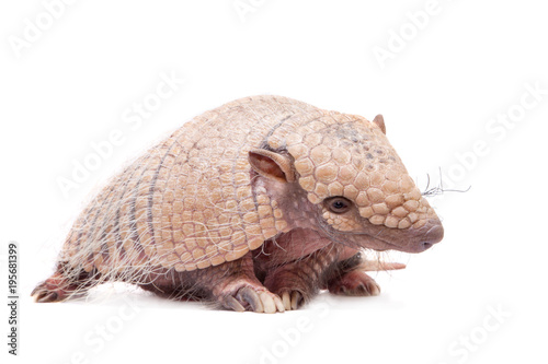 Photo Six-banded armadillo on white
